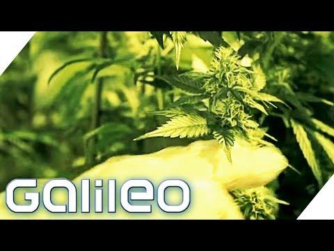 Die legalen Cannabisprodukte der Schweiz   Galileo   ProSieben