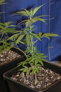 Hanfpflanze, noch nicht am Spargeln.