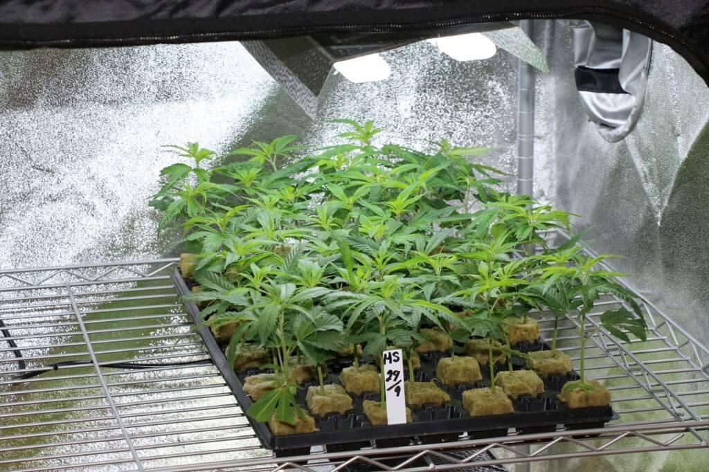 Ein Steckling zwittert nicht, wenn die Mutterpflanze es nicht tun würde.