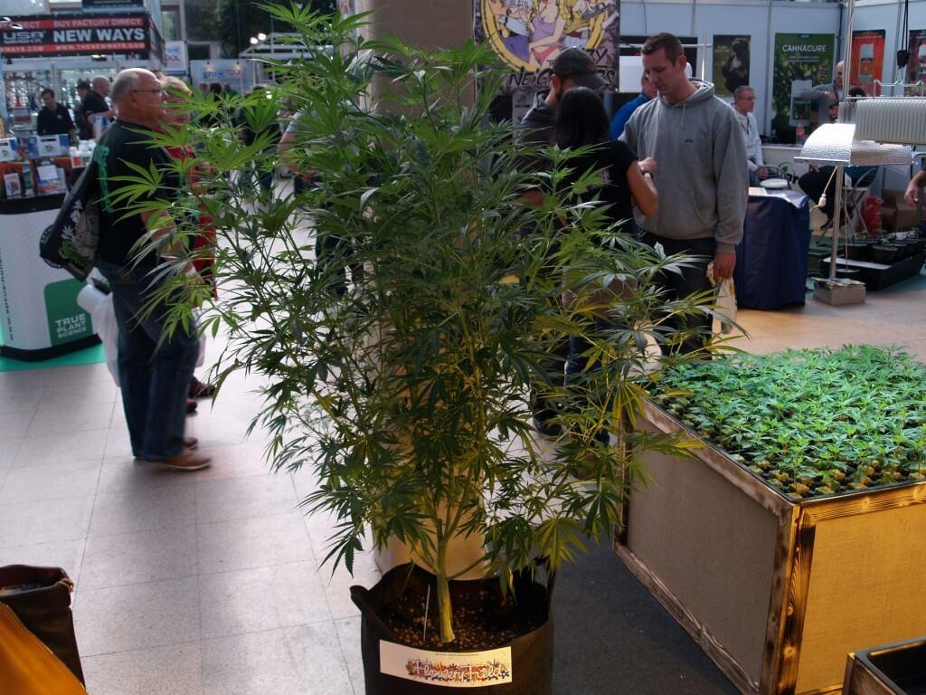 Mutterpflanze und Marihuanastecklinge von Flowery Field