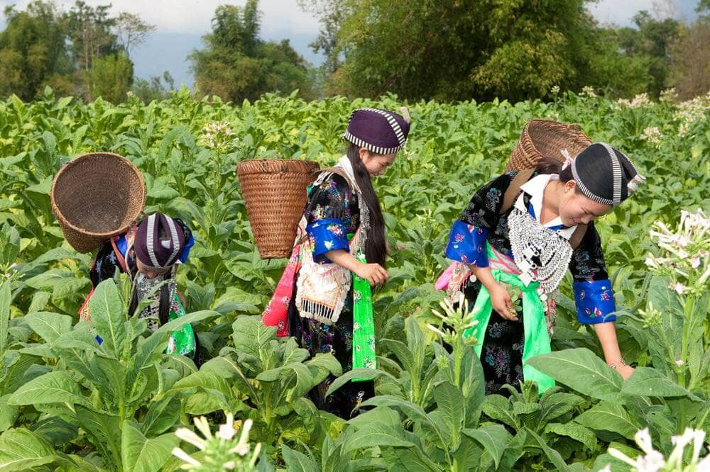 Tabakanbau-und-Ernte