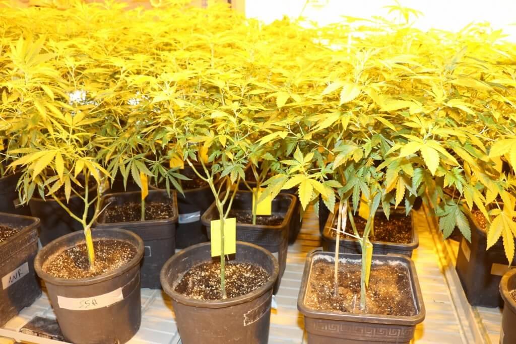 Hanfpflanzen beschneiden ist z.B. für Mutterpflanzen wichtig!