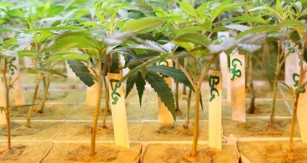 Erntemengen: Wie viel Hanf bekommt man aus einer Pflanze?