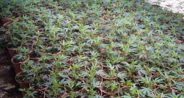 Autoflowering Seeds werden gesät!