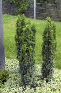 Taxus Baccata; Randbepflanzung, Grab
