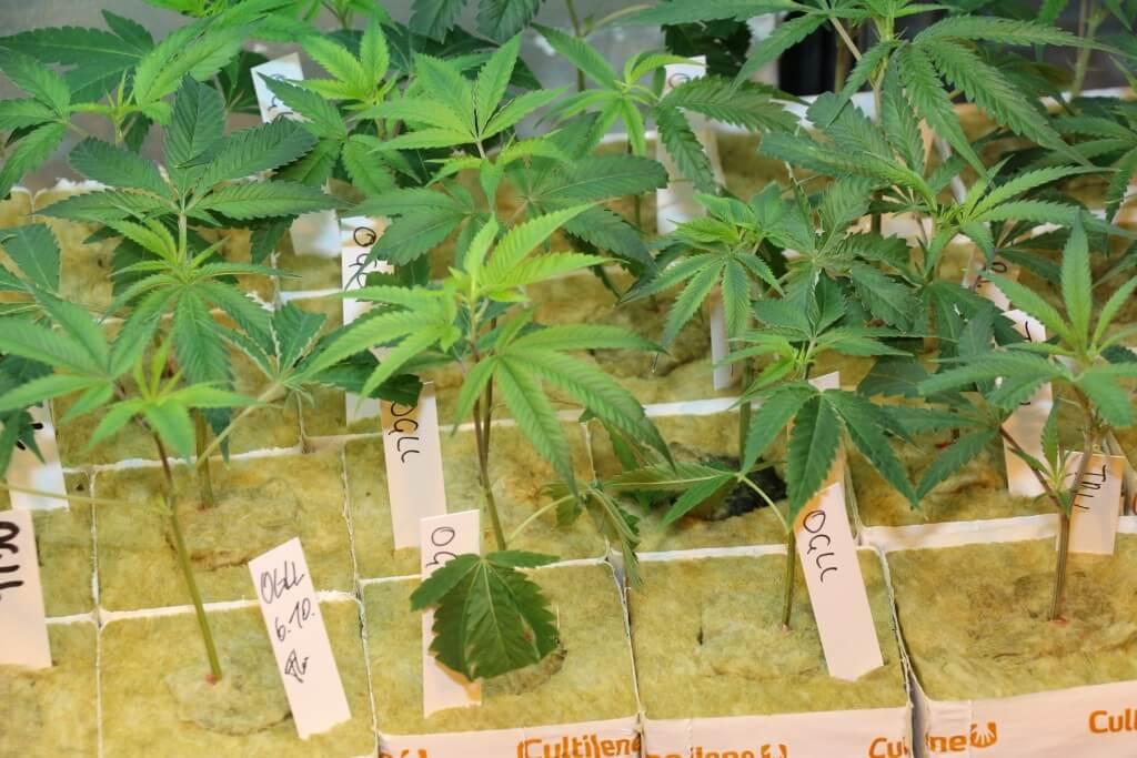 Solche Stecklinge kann man von Autoflowerring Pflanzen nicht nehmen!