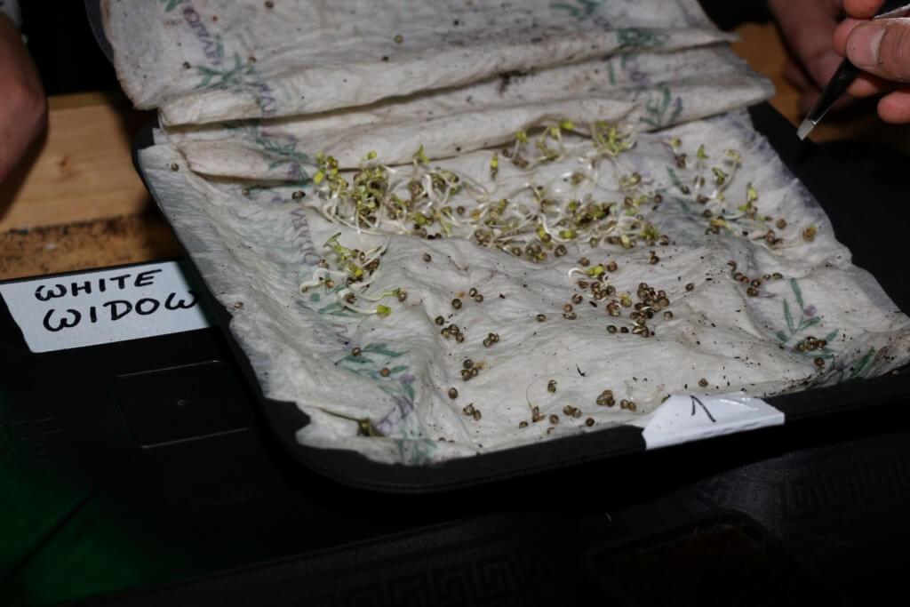 Alle guten Cannabis Samen keimen