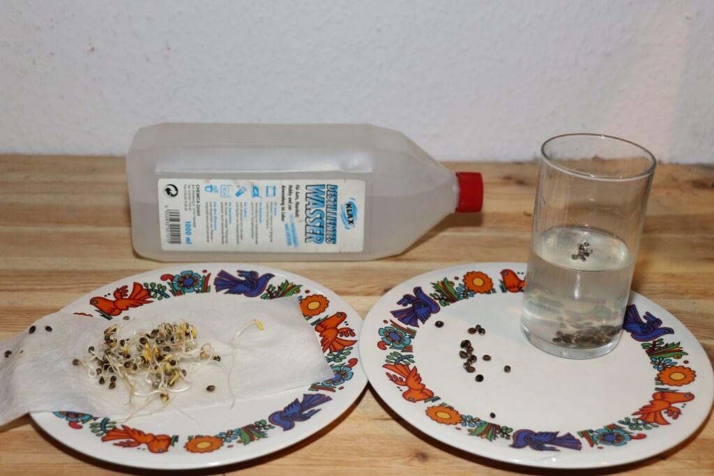 Die Ergebnisse zum Vorkeimen mit destilliertem Wasser