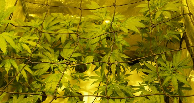 Hoffentlich kleinwüchsige Cannabis Pflanzen