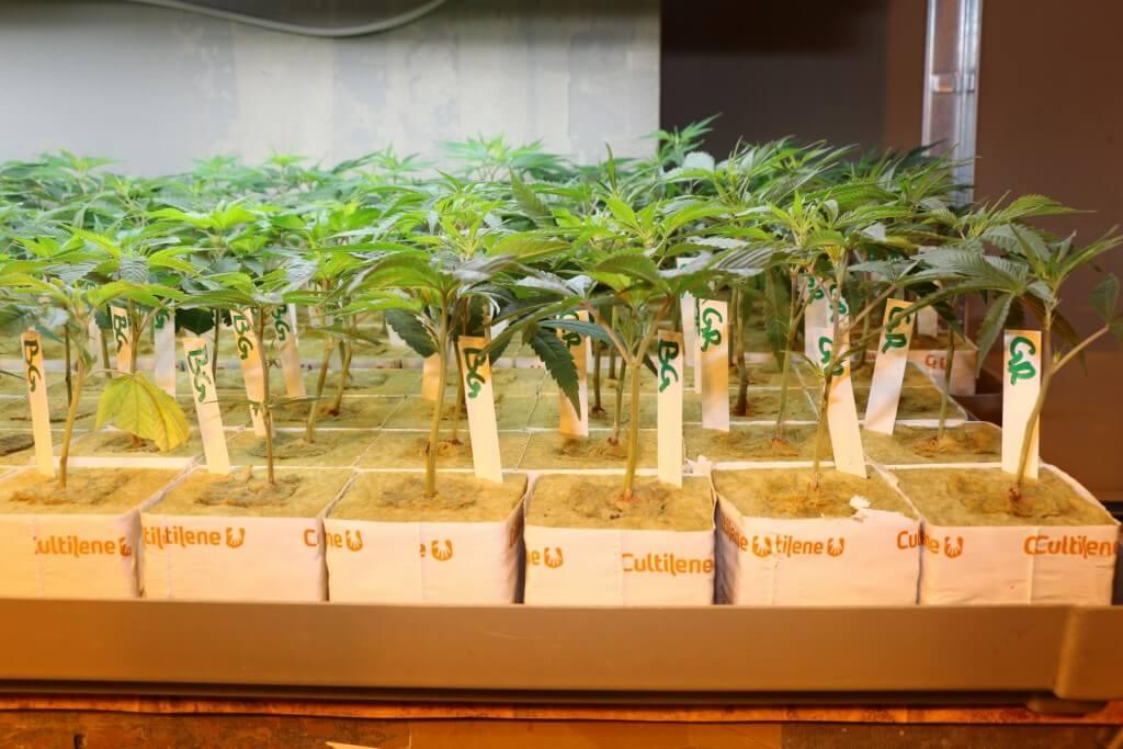 Man sieht den Cannabis Pflanzen nicht ihre Wuchskraft an und muss diese erfragen