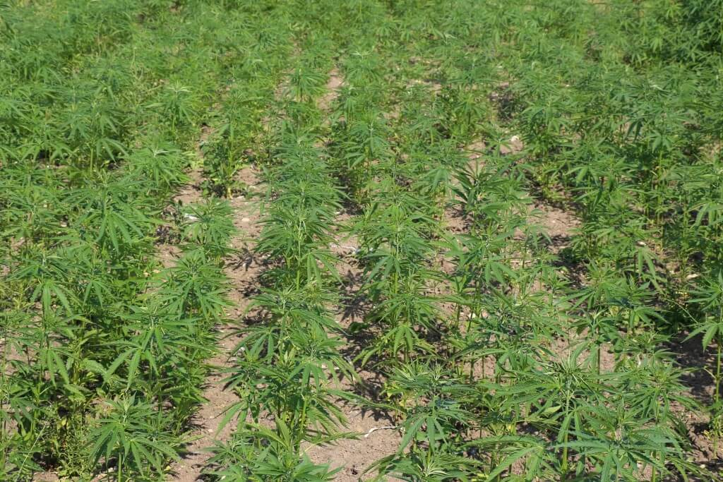 Nicht viele Cannabis Samen für Outdoor