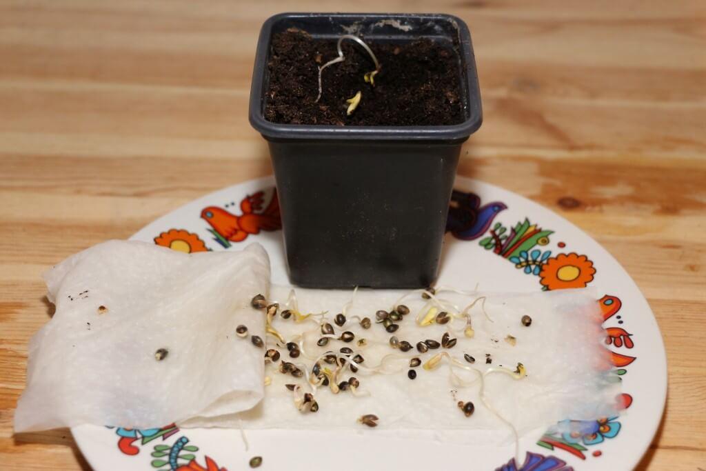 Wenn sich die Keimblätter öffnen einfach einpflanzen!