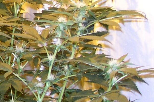 Indoor Sensimilla Marihuana mit vielen Blütenfäden