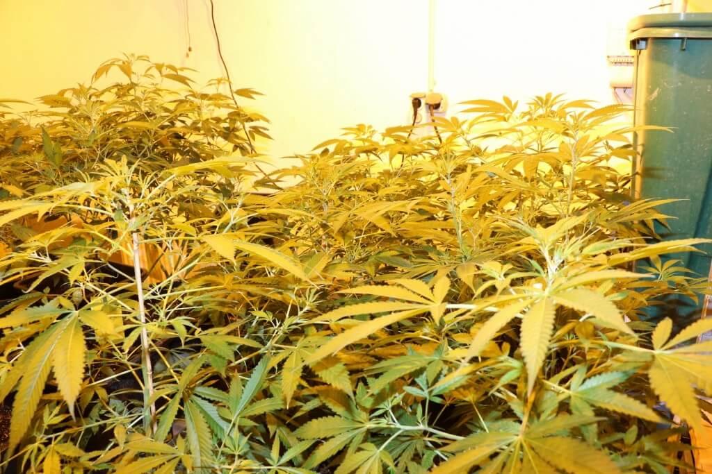 Marihuana legal in Deutschland anbauen ist noch ein Traum!