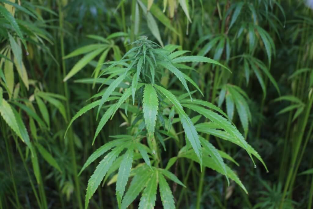 Noch Faserhanf, ungeeignet für Deutschlands Marihuanaversorgung