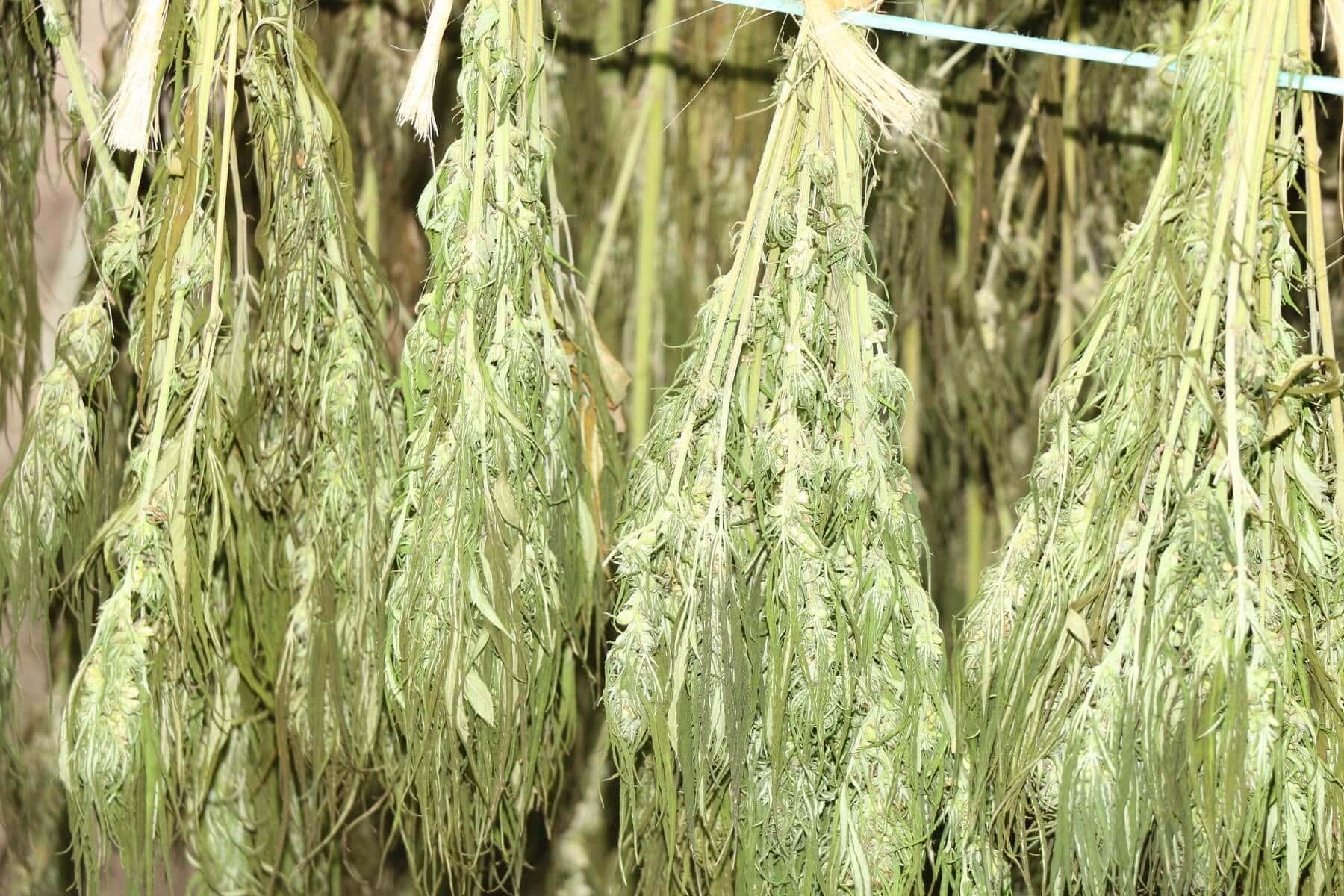 Pflanzen Trocknen pflanzen trocknen indoor pflanzen zu beachtende faktoren