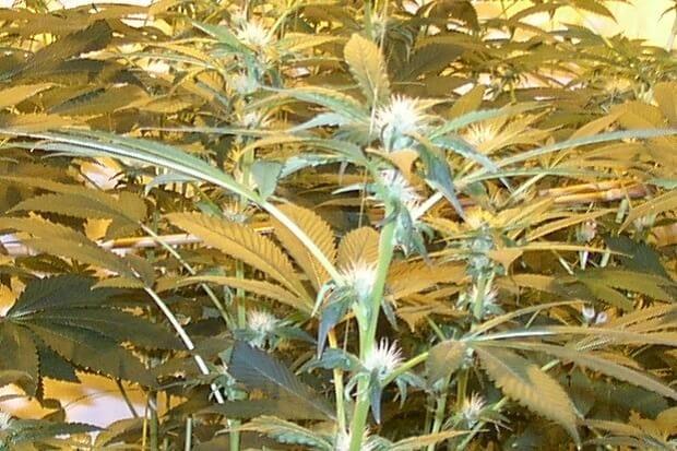 Sensimilla indoor Marihuana mit vielen Blütenfäden