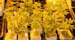 Cannabislegalisierung bedeutet persönliche Freiheiten einräumen