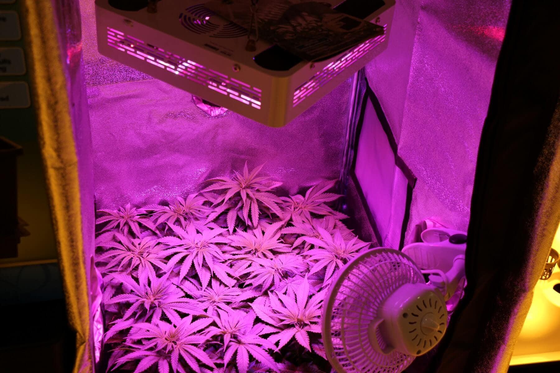 Welches lichtspektrum fr hanf beim indooranbau parisarafo Choice Image