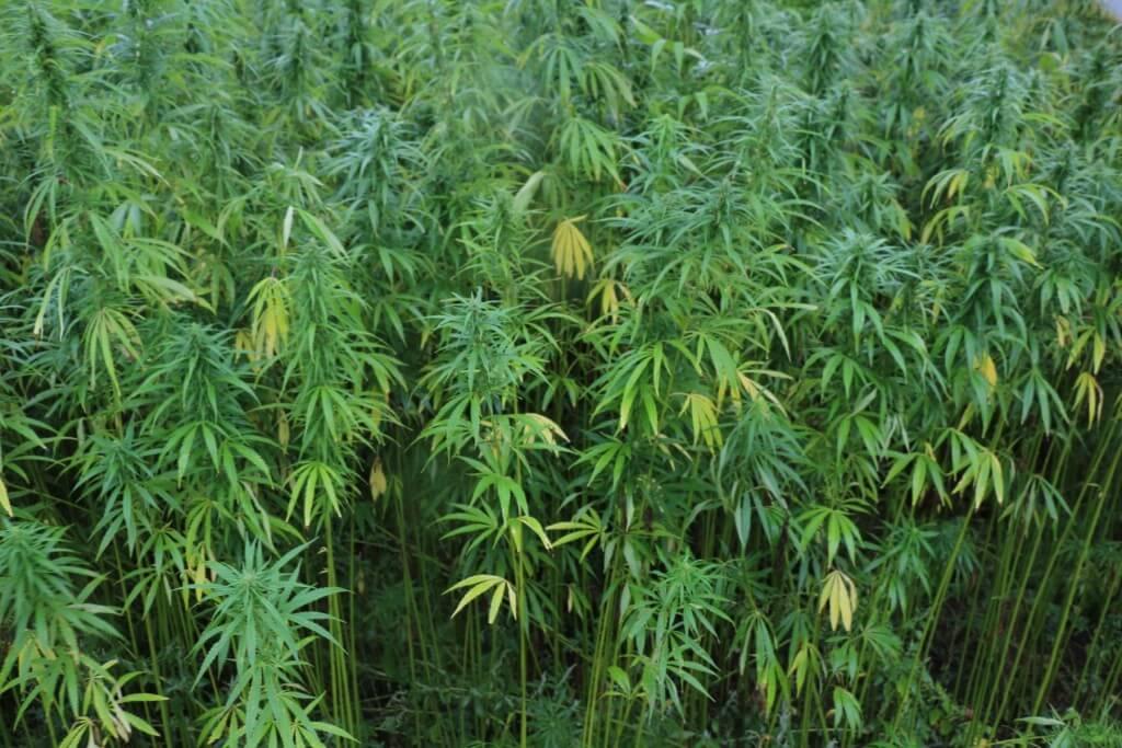 Zellstoffpflanze Hanf rettet die Wälder!
