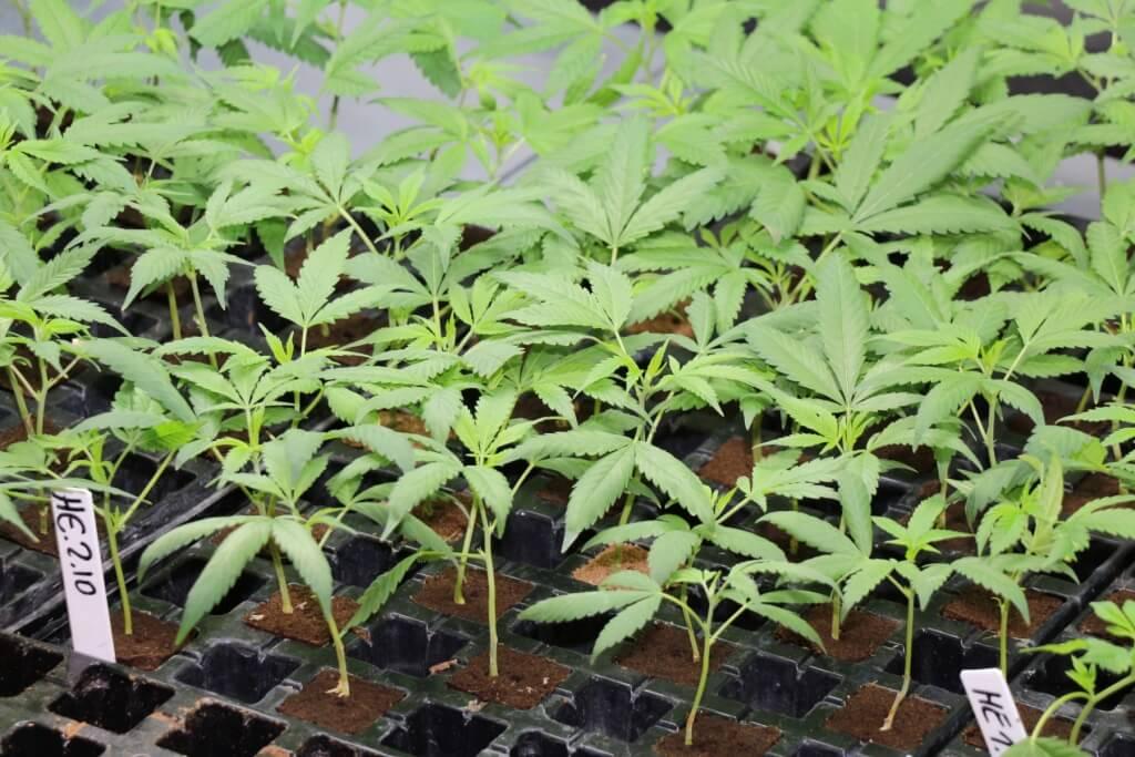 Cannabis Sorten, die high machen