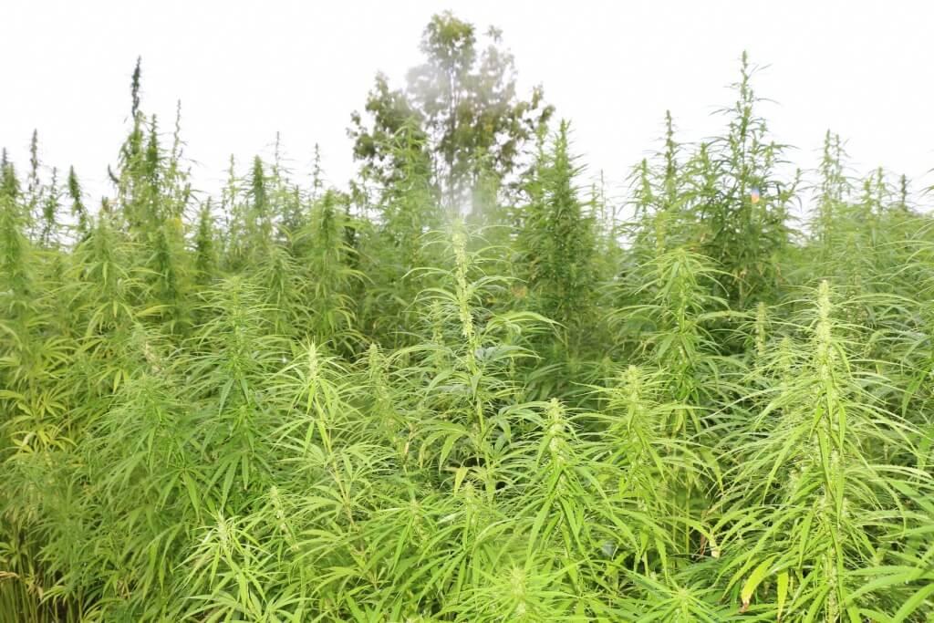 Cannabis Sorten, die nicht high machen