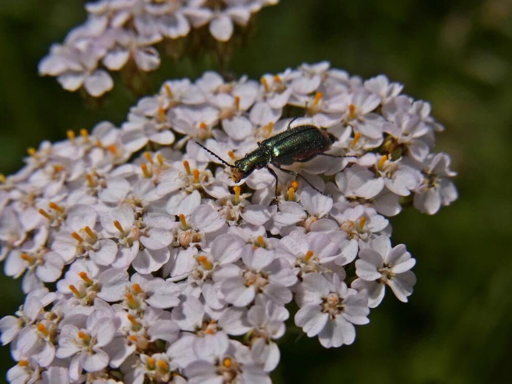 Nahaufnahme der weißen Blütenstände