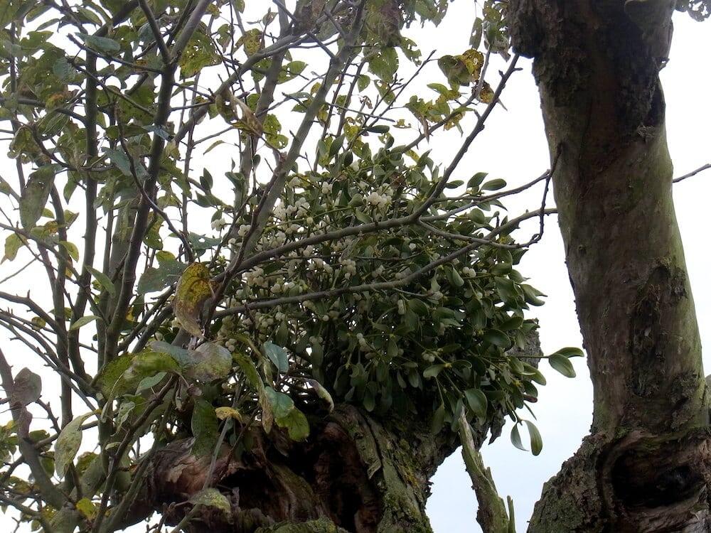 Viscum album in der Krone eines alten Obstbaumes