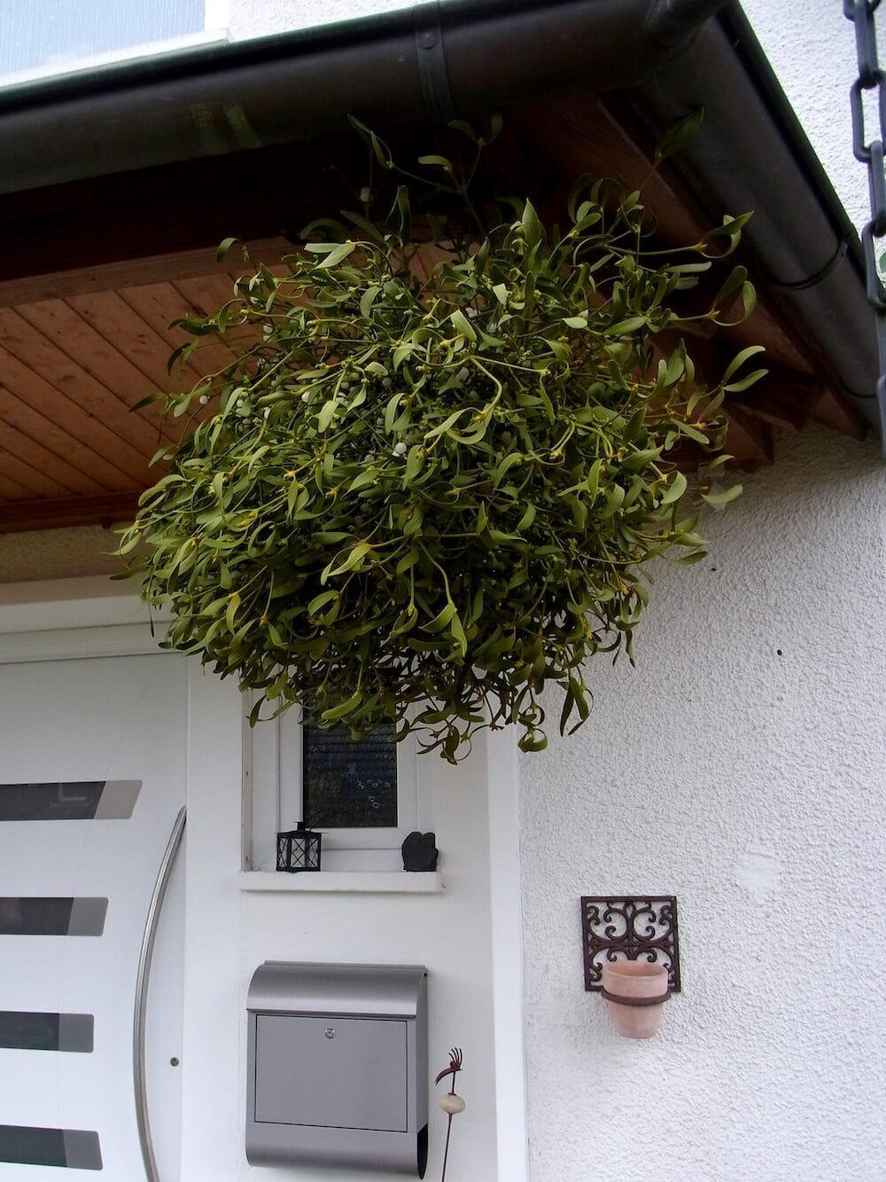 Die Mistel hat eine lange Tradition als magische Schutzpflanze. Diese, oberhalb des Hauseingangs befestigten Mistelzweige hindern schädliche Krankheitsgeister vor dem EIndringen ins Haus.