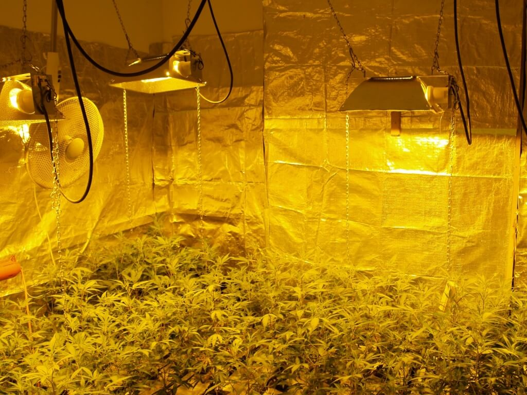 Indoor ist viel teurer als Gewächshaus Marihuana Anbau