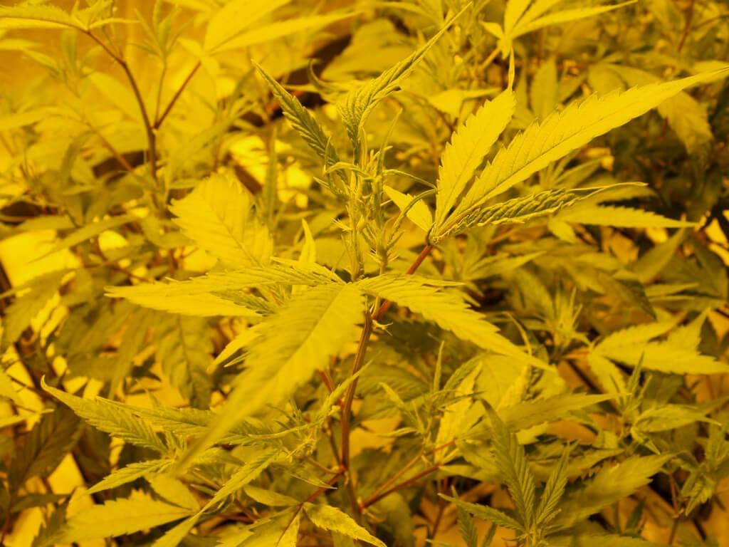 Kommerzielle THC Strains mit mehr Ertrag und höheren Wirkstoffgehalten
