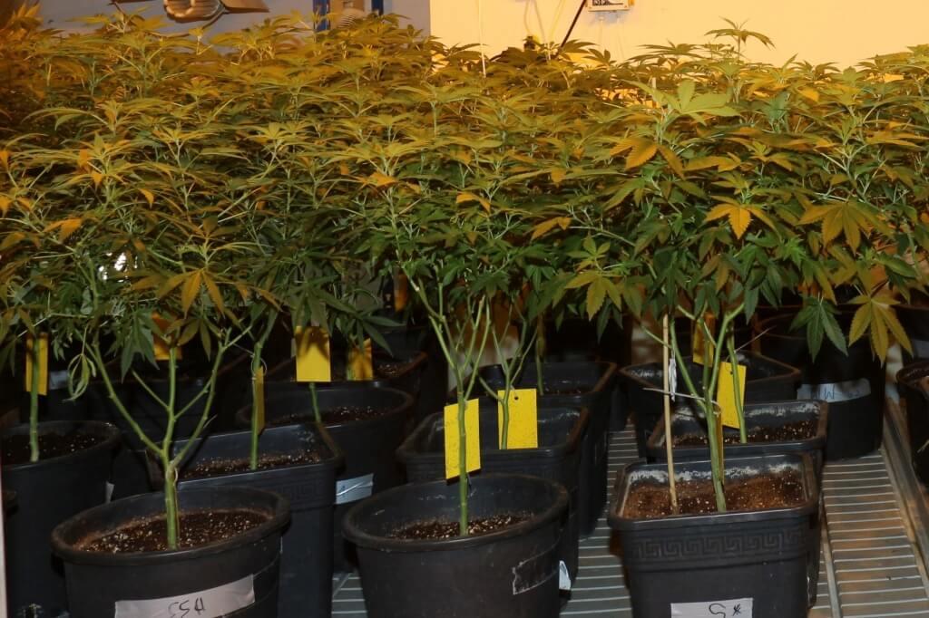 Mutterpflanzen zum Marihuana Stecklinge schneiden