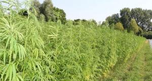 Hanf zieht Giftstoffe aus den Böden