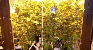 Hydroponischer Marihuanaanbau auf CoGr