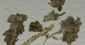 Schimmel in Cannabis