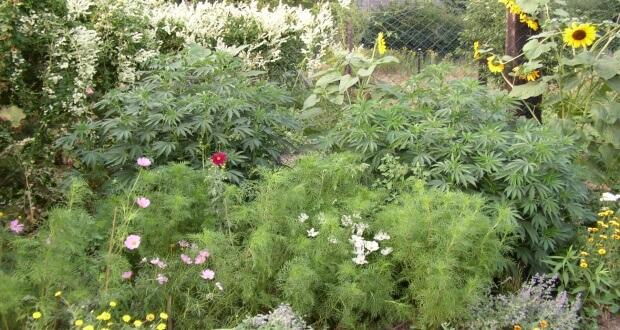 Weihnachts- Marihuanabaum zu Weihnachten im Sommer