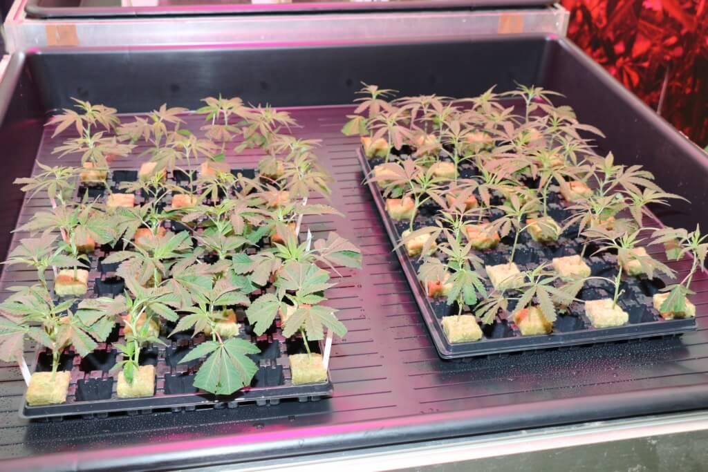 CSC Pannagh wurde für Pflanzen bestraft