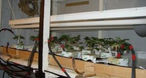 Jungpflanzen auf Steinwolle vorziehen und automatisch wässern