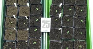 Weed Seeds ansetzen - Wenn alles klappt
