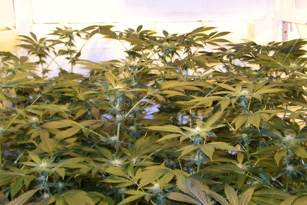 Tag 28, die Pflanzen wurden bereits aus dem mittleren in den linken Growkammerbereich gestellt