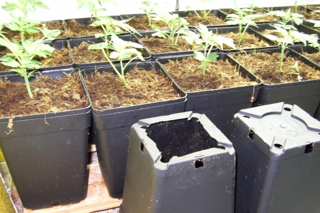 Marihuana Jungpflanzenpflege auf losem CoGr