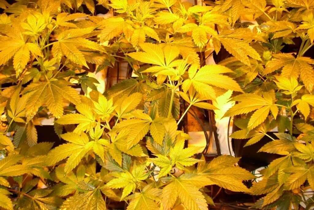 Jungpflanzen Beleuchtung in den ersten Blütetagen mit nicht zu viel Power