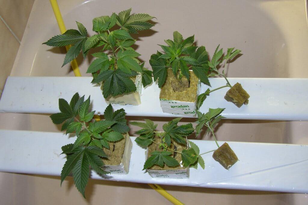 Marihuanasetzlinge in gutem Zustand, aber wenig Wurzeln
