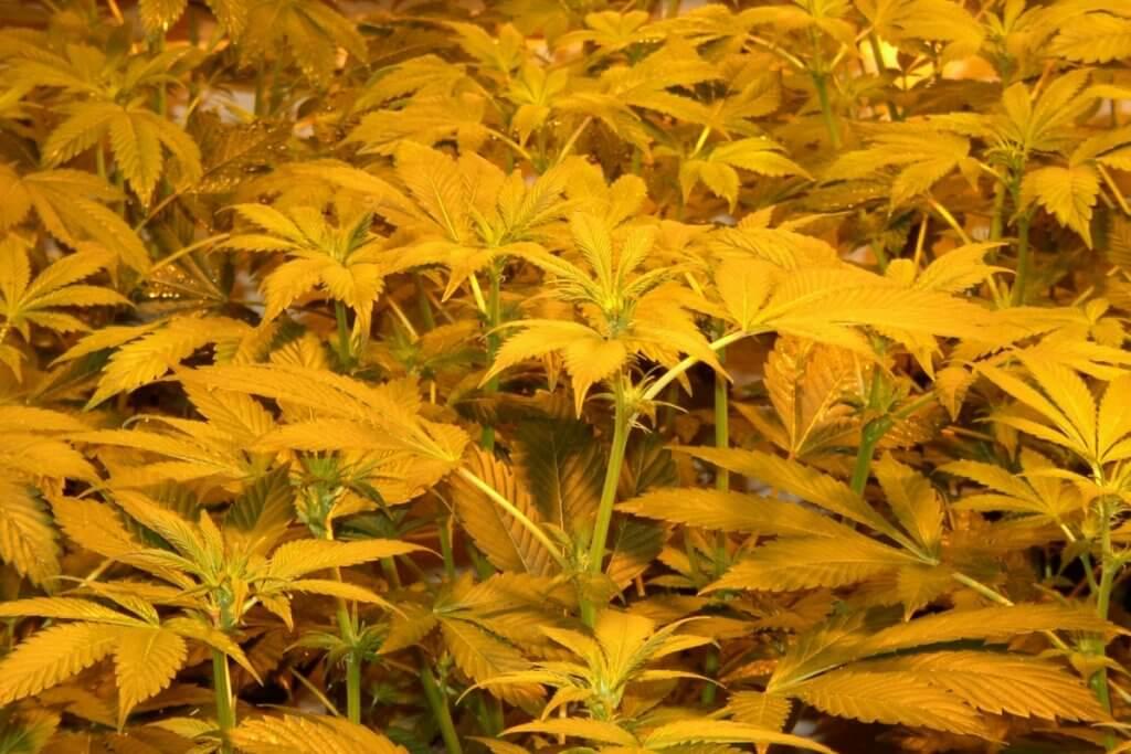 15 Tage nach dem Marihuanablüte einleiten bilden sich Blütenansätze