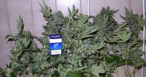 Hier sind drei fertige Marihuanapflanzen zu sehen