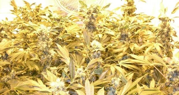 Marihuanablüte Halbzeit