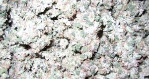 Marihuana Ernte nach dem Trocknen