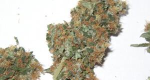 Marihuanablüten ernten - so soll es hinterher aussehen