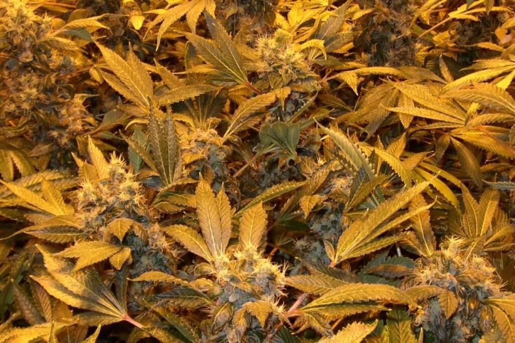 Dünger absetzen, damit die Blüten sauber reifen, damit sie später gut wirken und schmecken