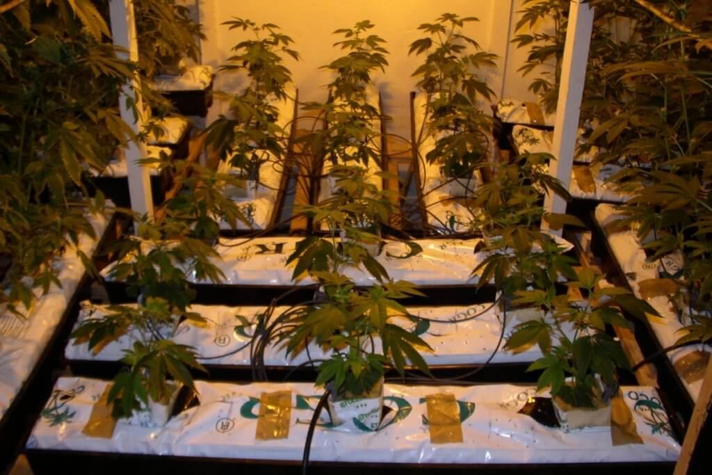 Gute klimatische Bedingungen lassen diese Pflanzen in drei Wochen auf 80cm heran wachsen